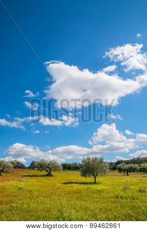 Sicilian Olive Trees