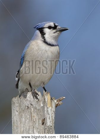 Blue Jay Perched On A Tree Stump