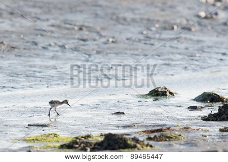 Avocet chick forage in water