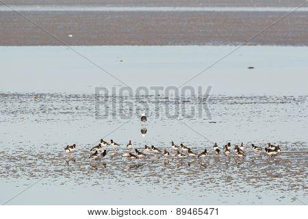 Eurasian Oystercatchers in wadden sea in Holland