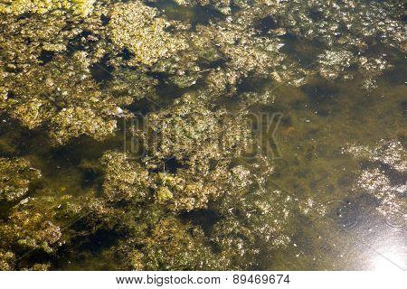 Seaweed In A Lake.
