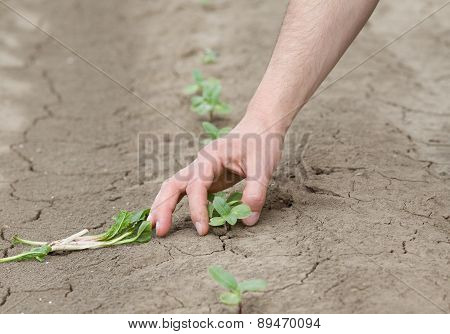 Farmer Holding Sprout In The Field