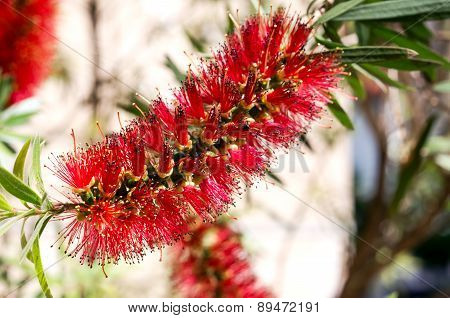 Red Tropical Mediterranean Flower - Callistemon