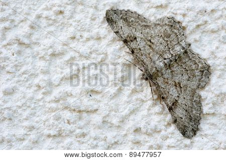 Gray Moth