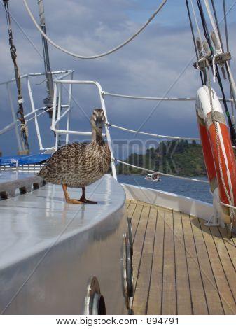 Duck On Yacht