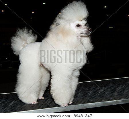 Miniature Poodle looks ahead.