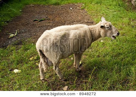 Lonesome Sheep