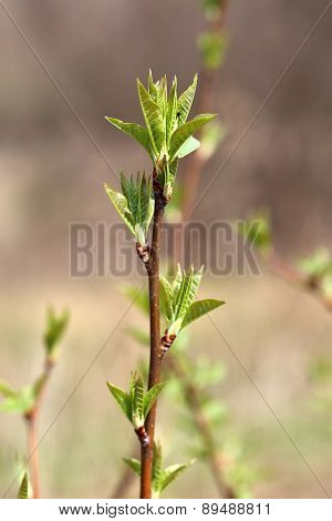 Spring Green Leaves On A Branch