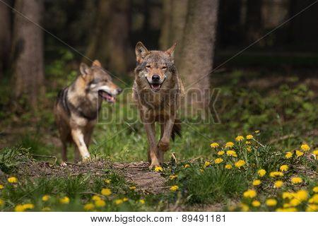 Eurasian wolfs