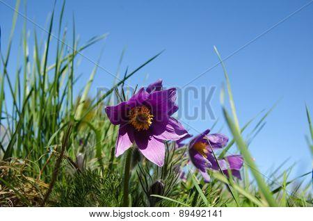 Pasque Flower At Blue Sky