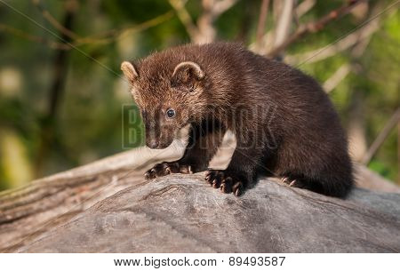 Young Fisher (martes Pennanti) Sits On Log