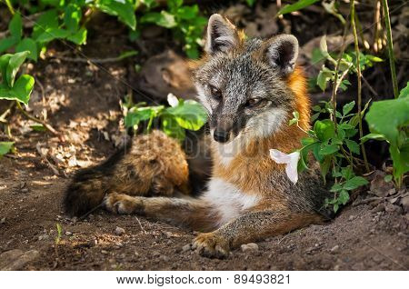 Grey Fox Vixen (urocyon Cinereoargenteus) And Flower At Densite