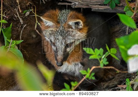 Grey Fox Vixen (urocyon Cinereoargenteus) And Kit In Den