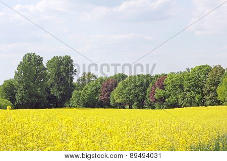 Blooming Canola Field And Trees In Spring