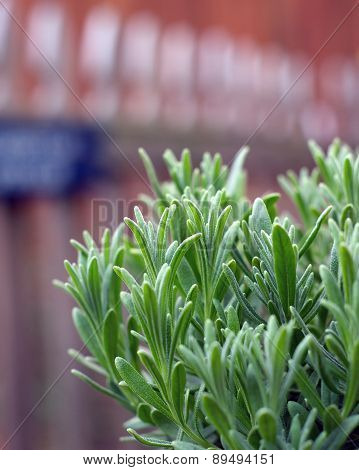 Lavender Plant Growing In Garden