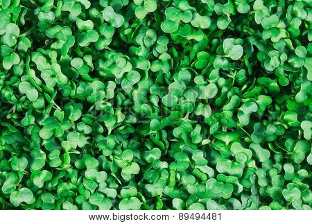 Clouse up of Fresh Green Cress Salad background, texture