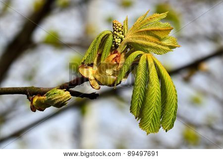 Buds And Young Leaves Of Chestnutt (lat. Castanea)
