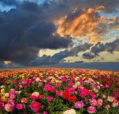 foto of buttercup  - Picturesque field of the blossoming buttercups  - JPG