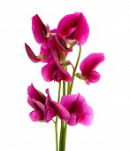 image of sweetpea  - flora of Gran Canaria Tangier pea isolated on white background - JPG