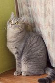 picture of tabby-cat  - gray tabby cat sitting on a window sill and looking up - JPG