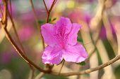 stock photo of azalea  - pink blossom of azalea on the branch - JPG