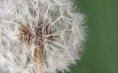 picture of dandelion seed  - Dandelion ball over green background - JPG