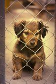 pic of dachshund  - Dachshund puppy sitting behind the wire fence  - JPG