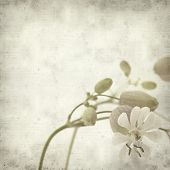 picture of bladder  - textured old paper background with Silene vulgaris or bladder campion - JPG