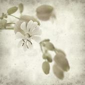 pic of bladder  - textured old paper background with Silene vulgaris or bladder campion - JPG
