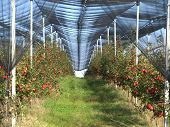image of apple orchard  - Apple orchard with red ripe apples on the trees - JPG