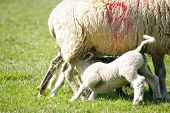 picture of spring lambs  - Spring lambs feeding with the mother sheep - JPG