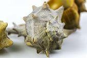 stock photo of edible  - Bolinus brandaris an edible marine gastropod mollusk known as the purple dye murex or the spiny dye - JPG