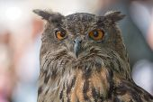 picture of owl eyes  - Nice portrait owl with orange eyes and blurred background - JPG
