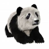 foto of panda bear  - 3D digital render of a panda bear cub resting isolated on white background - JPG
