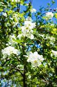 foto of jasmine  - Jasmine bush blooming in the sprig time garden  - JPG