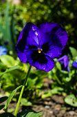 picture of viola  - Tricolor violas in the spring garden - JPG