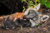 stock photo of snuggle  - Grey Fox Vixen  - JPG
