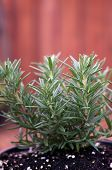 picture of stockade  - A young Rosemary plant is growing in a pot outside with stockade fence in background - JPG