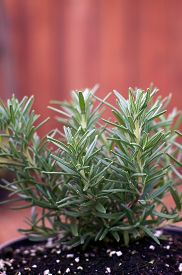 image of stockade  - A young Rosemary plant is growing in a pot outside with stockade fence in background - JPG