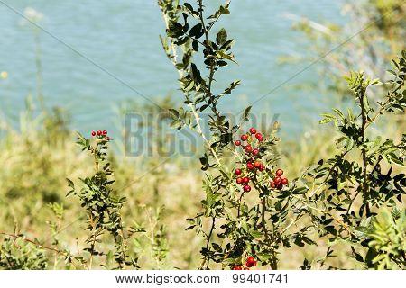 Red Berries Of Wild Rose