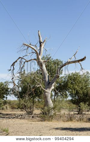 Dry Tree In The Desert
