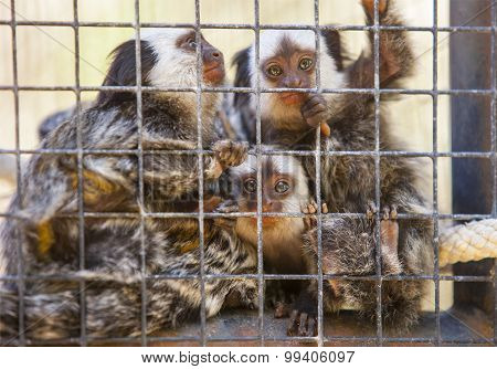 Family Of Marmosets