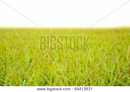 green grass yard isolated in white background