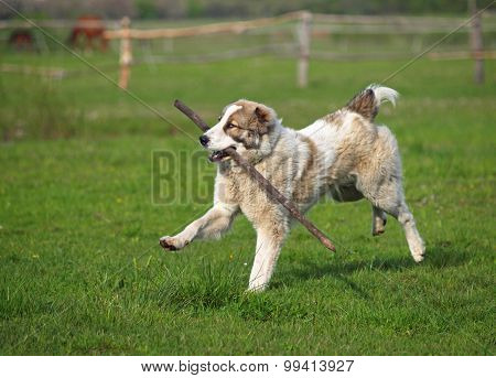 Large dog plays with a stick