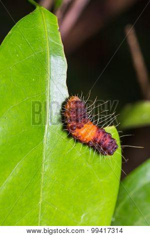 Nosymna Stipella Caterpillar