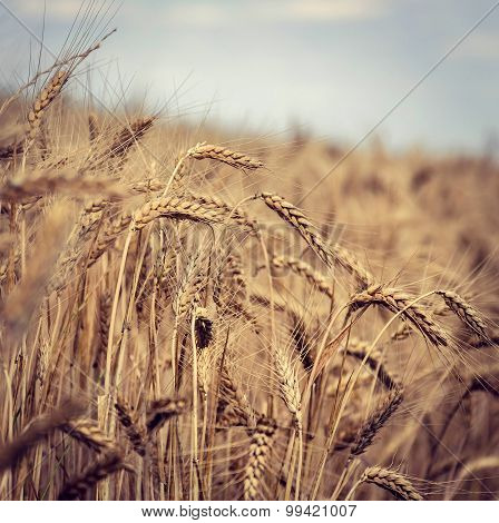 vintage photo of a wheat field in the wind