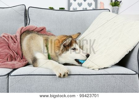 Cute Alaskan Malamute puppy with toy ball on sofa, close up