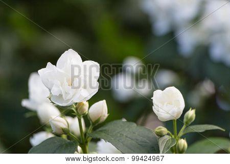 White Jasmine, Green Leafes, Summer Blossom
