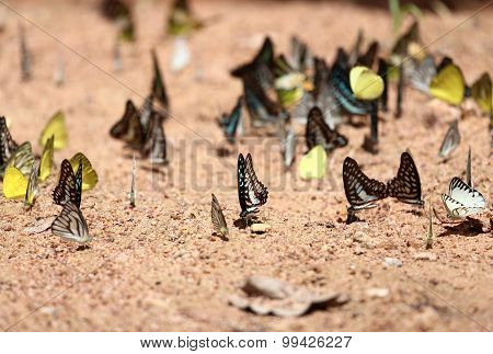 Group Of Butterflies On The Ground