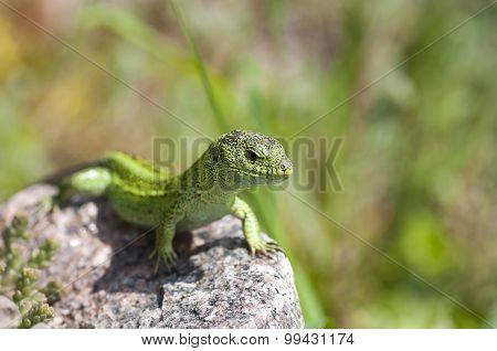 Sand Lizard (lacerta Agilis) Male